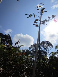Planted Shorea albida (Alan) during the Badas Tree Planting 2021. (Photo by:  Suhailah Isnin)